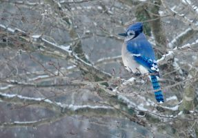 Blue Jay in Snow by JamesBrey