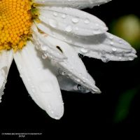 dripping daisy by ConnieBearer