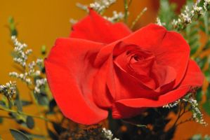 Red rose by MilA-10