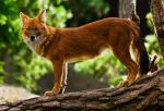 The Beautiful Dhole by PictureByPali