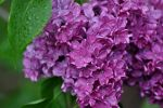 Fuchsia Lilacs by BlueSolitaire