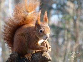 Squirrel 143 by Cundrie-la-Surziere