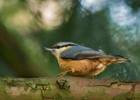 Nuthatch 02 by NellyGraceNG