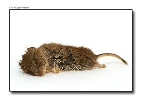 Dead Woodmouse by BritishBeef