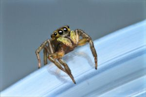 Jumping Spider 2 by Anrico