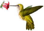 Colibri PNG by LG-Design