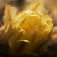 Cactus Flower Macro by ValdesBG