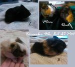 MY GUINEA PIG GAVE BIRTH! by SNlCKERS