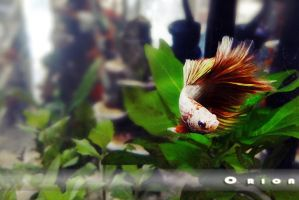 Orion the Betta by Perocore