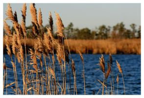 Back Bay Reeds by Deliciaa