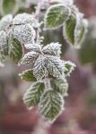 22.36 frosty leaves by cloe-patra