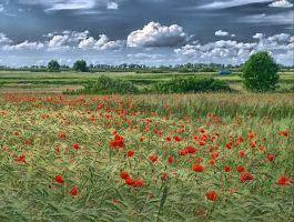 Field of poppies by Tragopogon