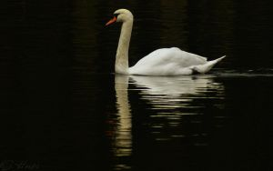 Mute Swan widescreen by webcruiser