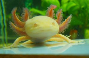 Ambystoma mexicanum golden by FuriarossaAndMimma