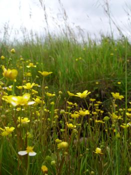 Buttercups by angel1592Stock