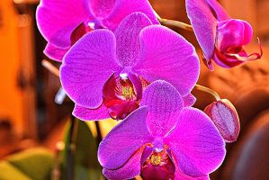 My Orchids by vin113