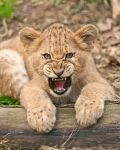 African Lion Cub 1038 by robbobert