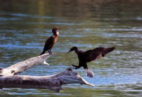 Cormorants by sgt-slaughter
