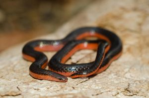 Carphophis vermis by michael-ray