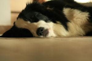 My border collie by Almirka