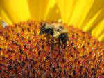 Bee on Sunflower by Steve-C2