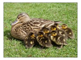 Ducklings by Tinlad