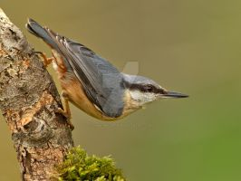 Little poser - Nuthatch by Jamie-MacArthur