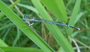 Blue dragonfly by VasiDgallery