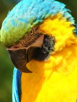 Shy Macaw by AngelsSunset