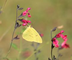 Colias philodice by Laur720