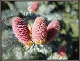 Cones on a tree by MrsEfi