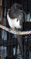 Ajax the Magpie: full body by the-only-nighthawk