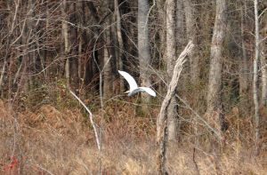 White Heron by Tailgun2009