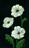 White Poppies Again by Arabidopsis