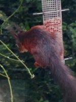 Red Squirrel 2 by Lost-in-the-day