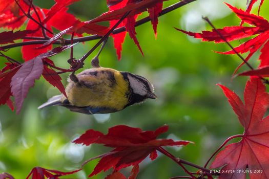 Blue tit in acer red by Daxserv
