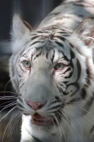 White Tiger by Atrum-lupus-everto
