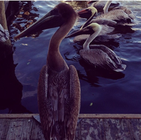 Pelican by toothpastecake