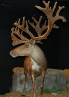 Mounted Caribou by SalsolaStock