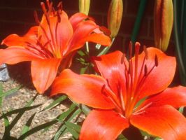Scarlet Lillies by Autumn-and-Spring