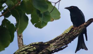 Spangled Drongo by piemagon
