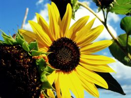 sunflower1 by Ewilyn