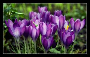 a chorus of crocus by RickHaigh