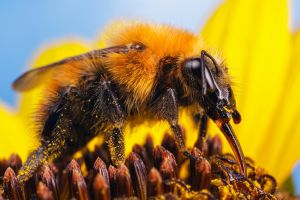 Feeding Bumblebee on a Sunflower II by dalantech