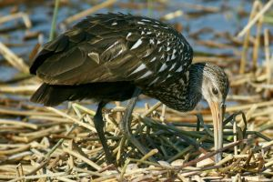 Limpkin Counting Eggs by Kippenwolf