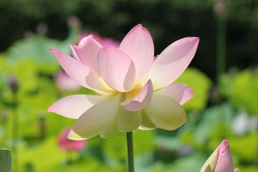 Lotus in the Sun by wolvenwillow