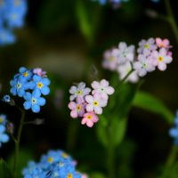 Forget me not III by Freya7