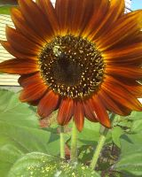 Sunflower by GUDRUN355