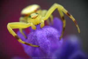 Crab Spider by mattTIDBALL
