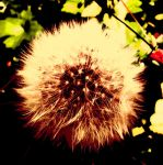 Orange-red Dandelion by AfraidOfFurniture